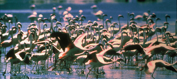Flamingos Feed on Spirulina Lake Chad